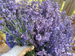 Hand holding big bunches of Lavender