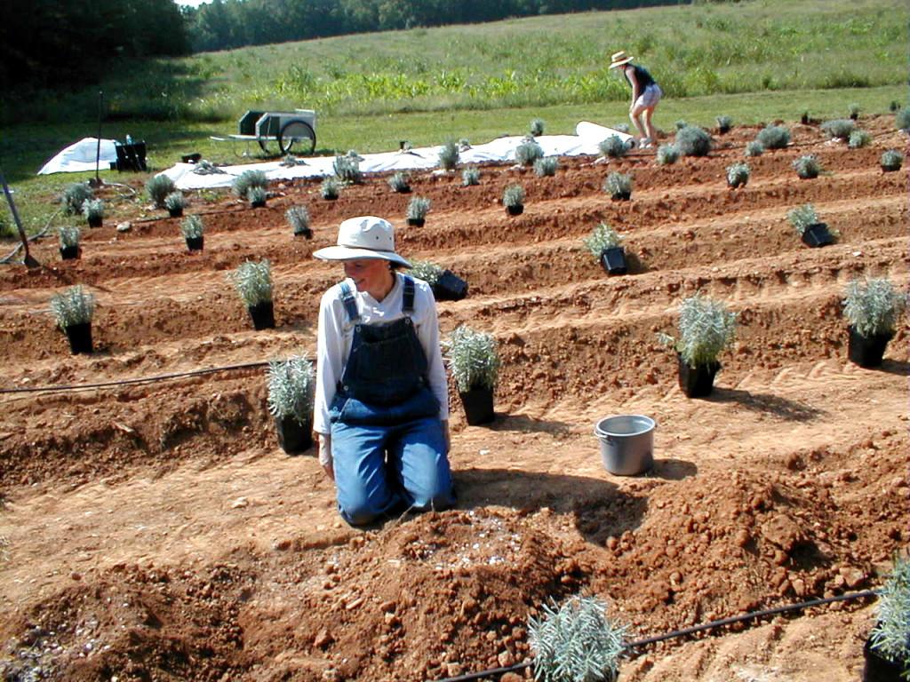 Planting Care Sunshine Lavender Farm