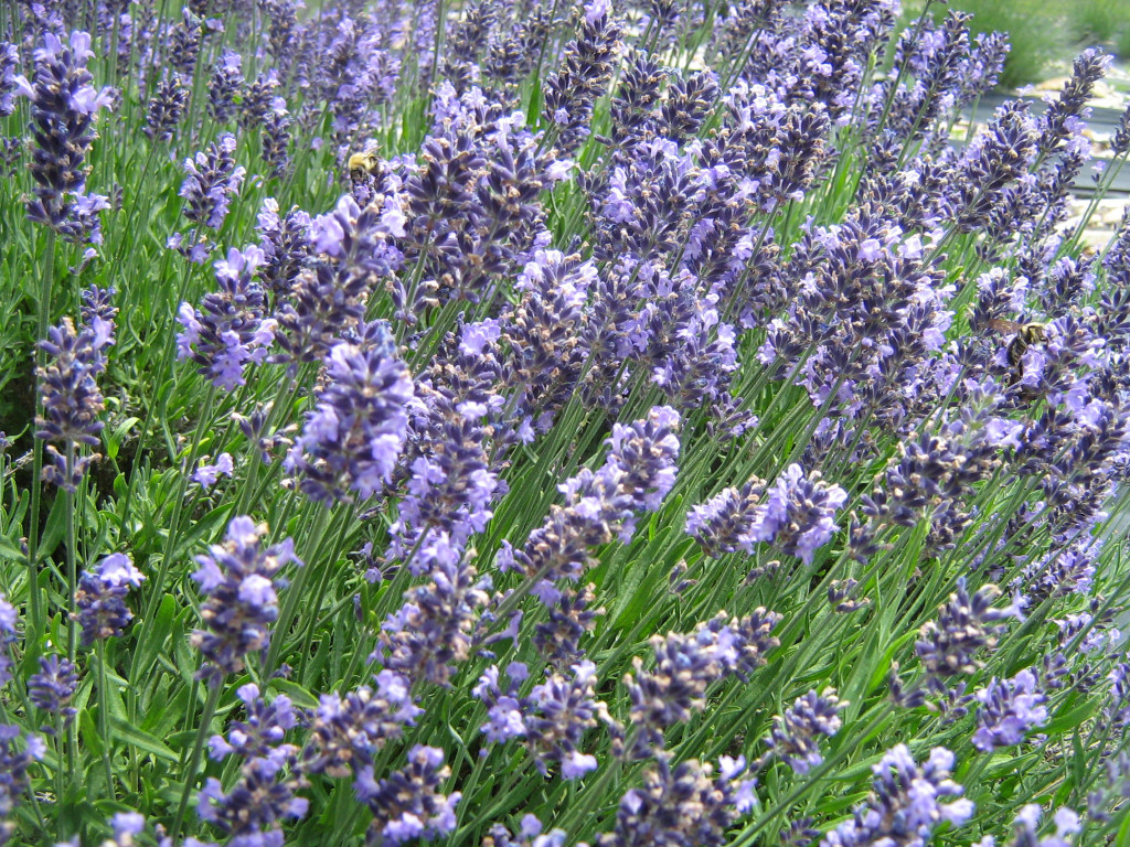 planting  care  sunshine lavender farm, Natural flower